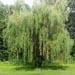 Menu arbres d'ornement