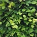 Menu plantes de haies